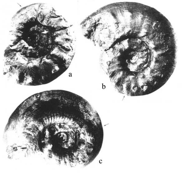 Genre Aspidoceras